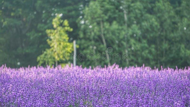 Lavendelblumenfeldhintergrund an Tomitaâ€-‹Bauernhof, Furano, HokkaidÅ-, Japan lizenzfreie stockfotos