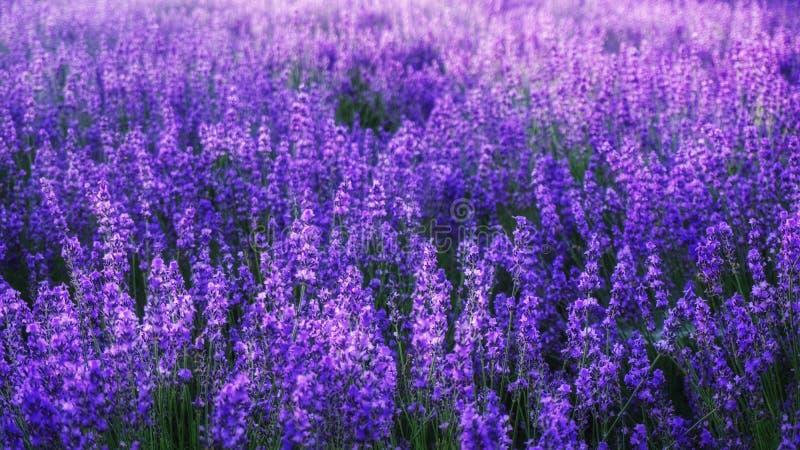 Lavendelblumenfeldhintergrund an Tomitaâ€-‹Bauernhof, Furano, HokkaidÅ-, Japan stockfotos