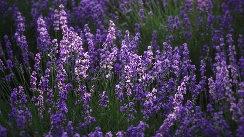 Lavendelblumenfeldhintergrund an Tomitaâ€-‹Bauernhof, Furano, HokkaidÅ-, Japan stockbild