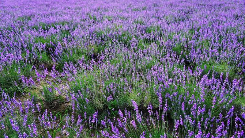 Lavendelblumenfeldhintergrund an Tomitaâ€-‹Bauernhof, Furano, HokkaidÅ-, Japan lizenzfreies stockbild