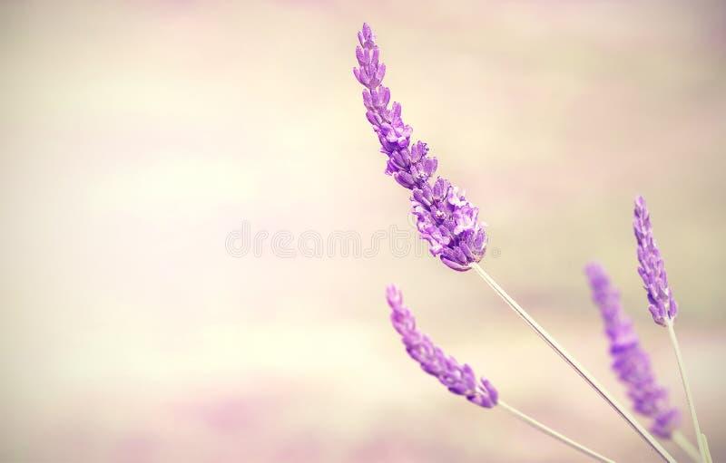 Lavendelblumenhintergrund mit Raum für Text stockfotografie