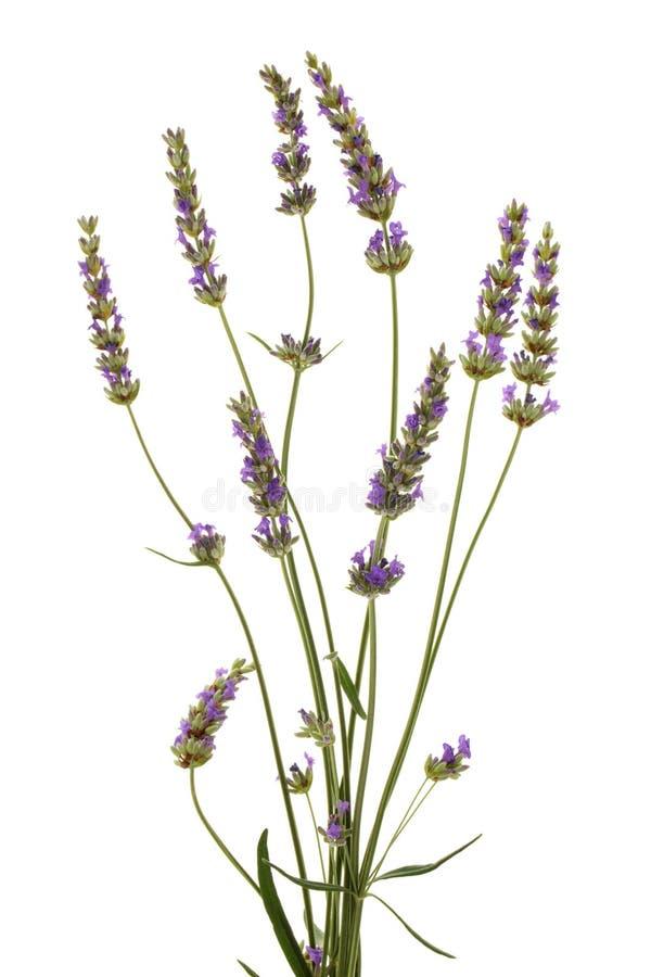 Lavendelblumenstrauß auf Weiß lizenzfreie stockbilder