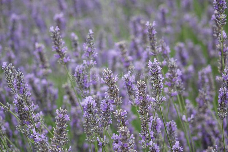 Lavendelbusch auf dem Feld stockbild