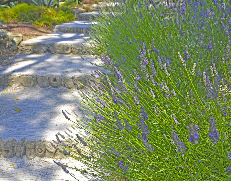 Lavendelbuskar som växer nära stenmoment royaltyfri foto