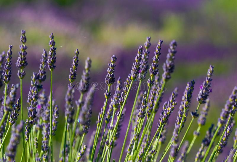 Lavendeldetail stockfotos
