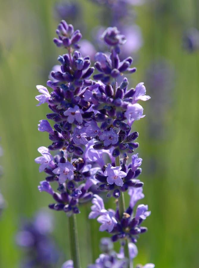 Lavendeldetail lizenzfreie stockfotografie
