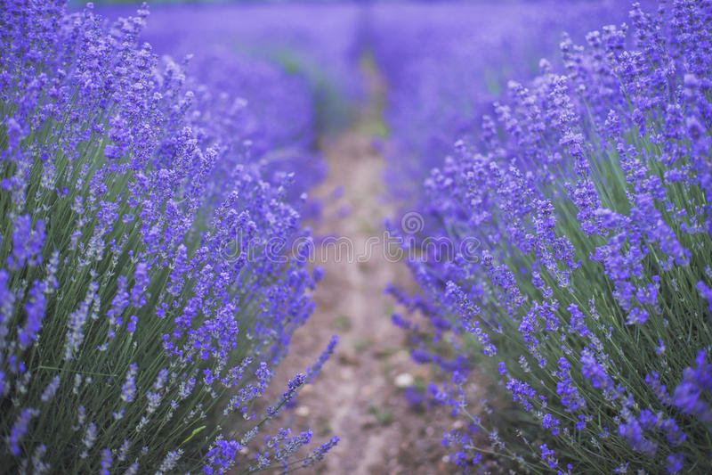 Lavendelfält av Bulgarien royaltyfri fotografi