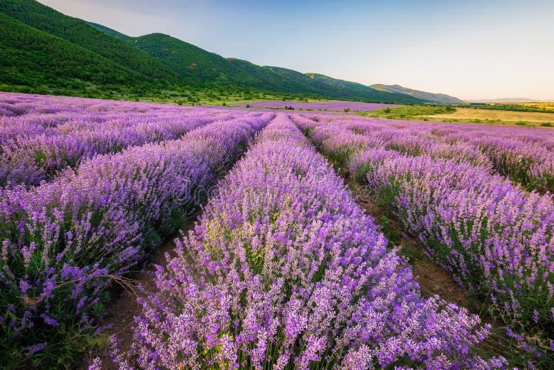 Lavendelfält för solnedgång arkivbilder