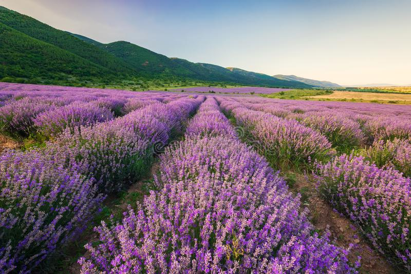 Lavendelfält för solnedgång royaltyfria foton