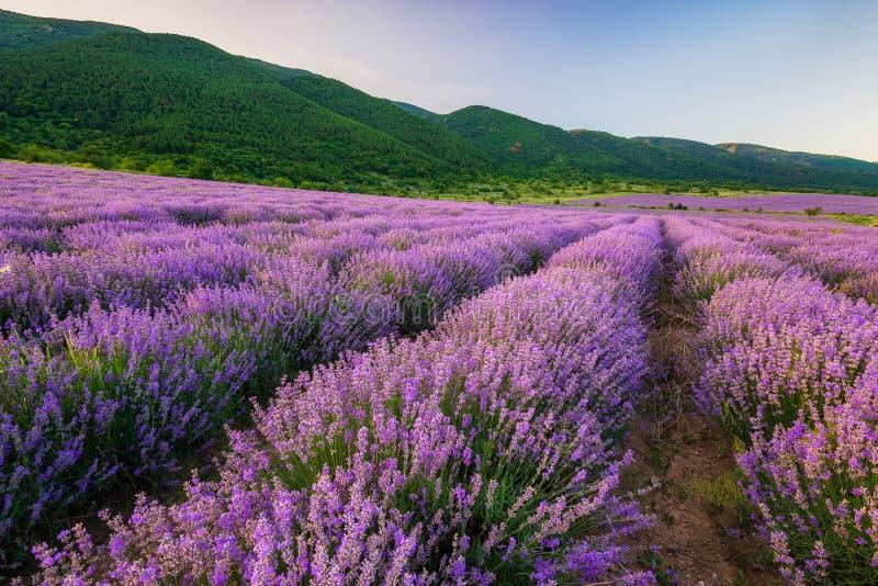 Lavendelfält för solnedgång fotografering för bildbyråer