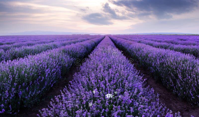 Lavendelfält Härligt avbilda av lavendel sätter in arkivbild