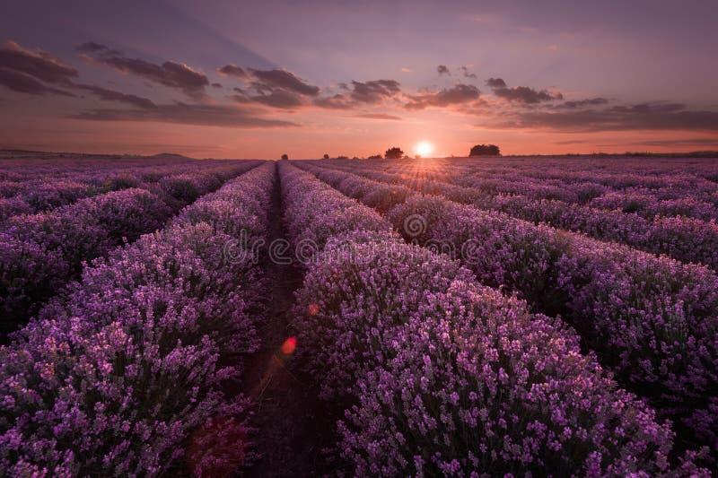 Lavendelfält Härligt avbilda av lavendel sätter in Sommarsolnedgånglandskap som kontrasterar färger Mörka moln, dramatisk solnedg arkivfoto