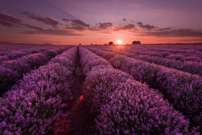 Lavendelfält Härligt avbilda av lavendel sätter in Sommarsolnedgånglandskap som kontrasterar färger Mörka moln, dramatisk solnedg royaltyfria foton