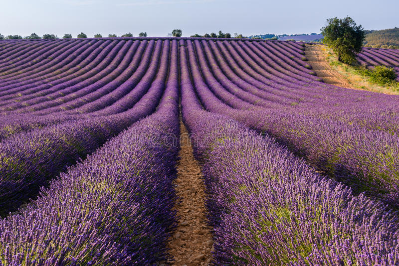 Lavendelfält i den Valensole platån, Provence arkivfoton
