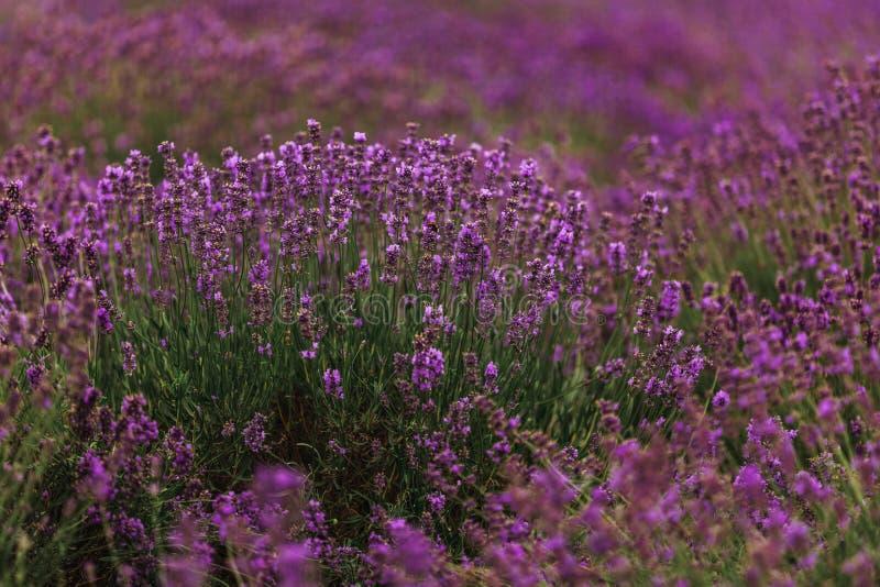 Lavendelfält i Provence som blommar violetta doftande lavendelblommor V?xande lavendel som sv?nger p? vind ?ver solnedg?nghimmel arkivfoton