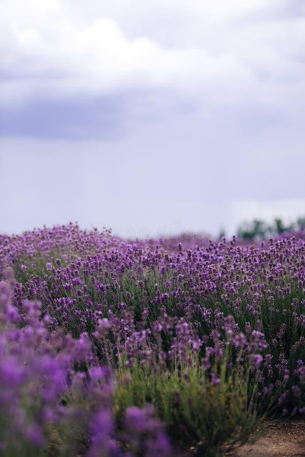 Lavendelfält i solljus, Provence, platå Valensole H?rligt avbilda av lavendel s?tter in Lavendelblommaf?lt arkivfoton