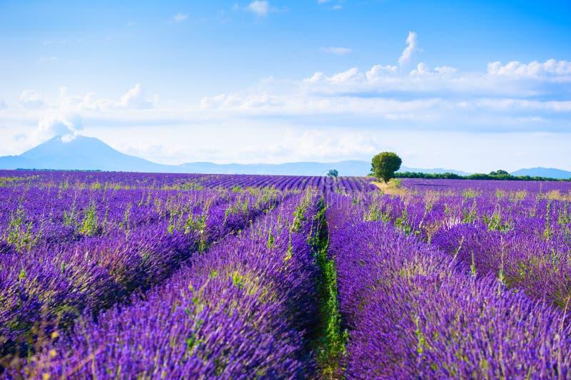 Lavendelfält nära Valensole, Provence, Frankrike arkivfoto