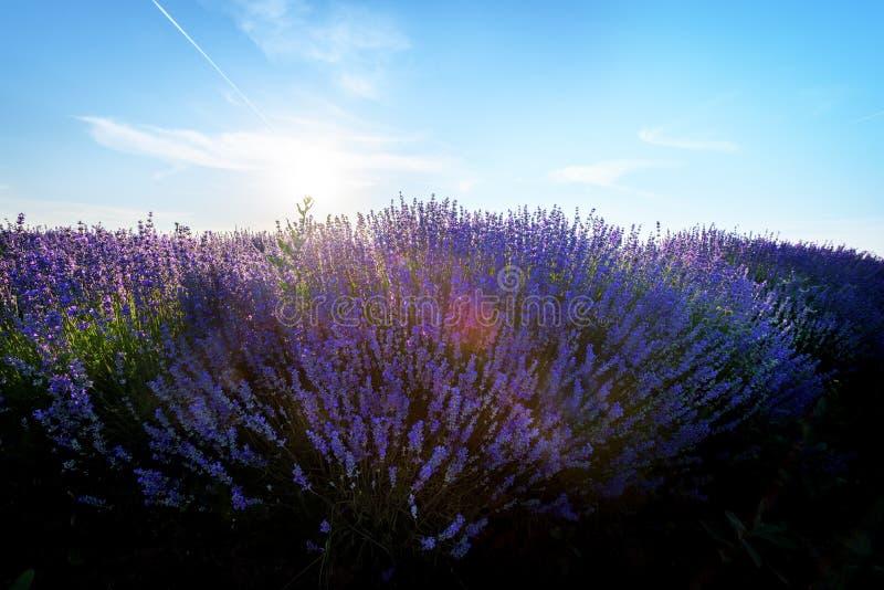 Lavendelfält på solnedgång arkivbilder