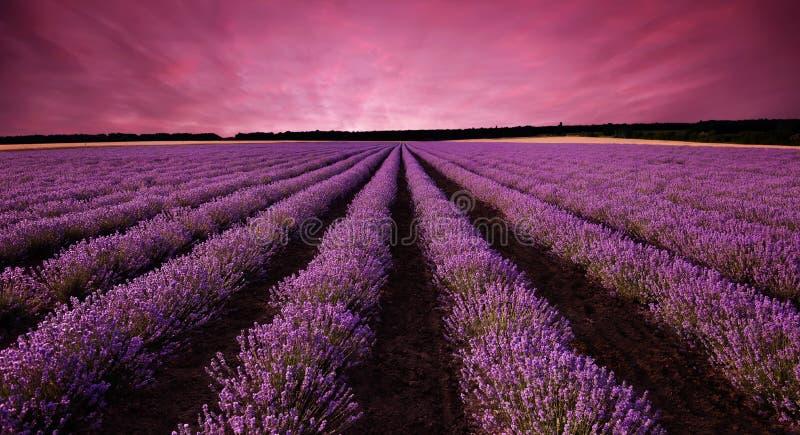 Lavendelfält på solnedgången arkivbilder
