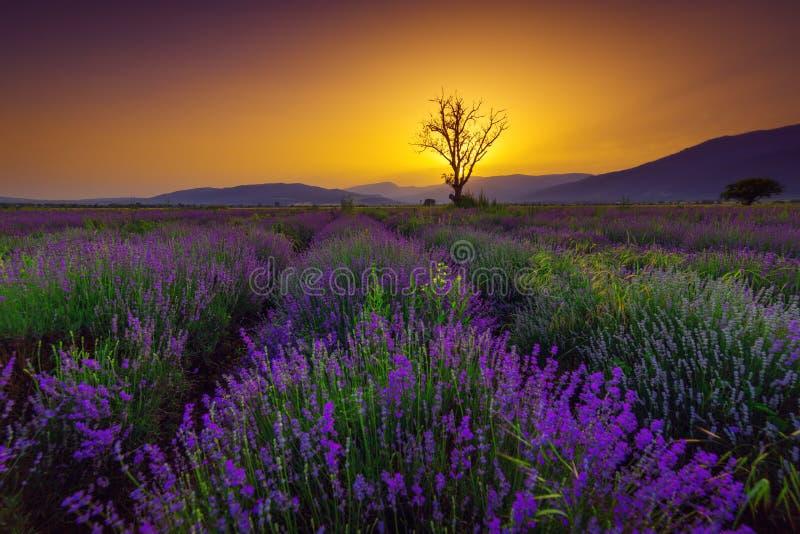 Lavendelfält på solnedgången royaltyfri foto