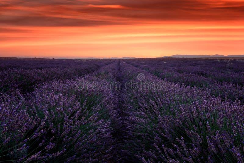 Lavendelfält på solnedgången, Provence som förbluffar landskap med brännhet himmel, Frankrike arkivbild