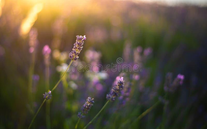 Lavendelfält på solnedgångtid fältet blommar purple arkivfoton