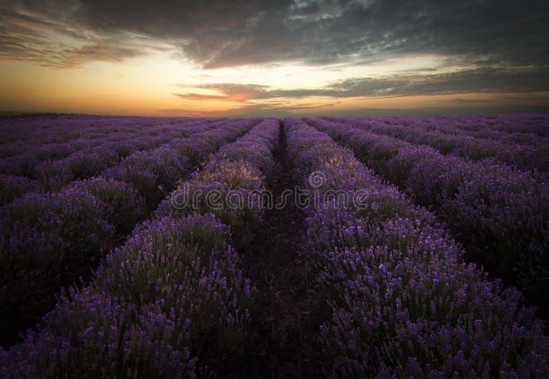 Lavendelfält på soluppgång royaltyfria foton