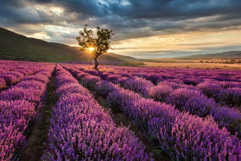 Lavendelfält på soluppgång royaltyfri bild