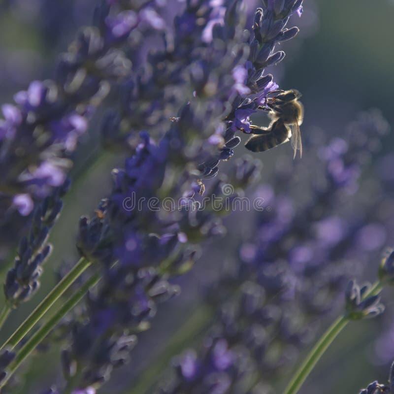 Lavendelfält, Provence royaltyfria bilder