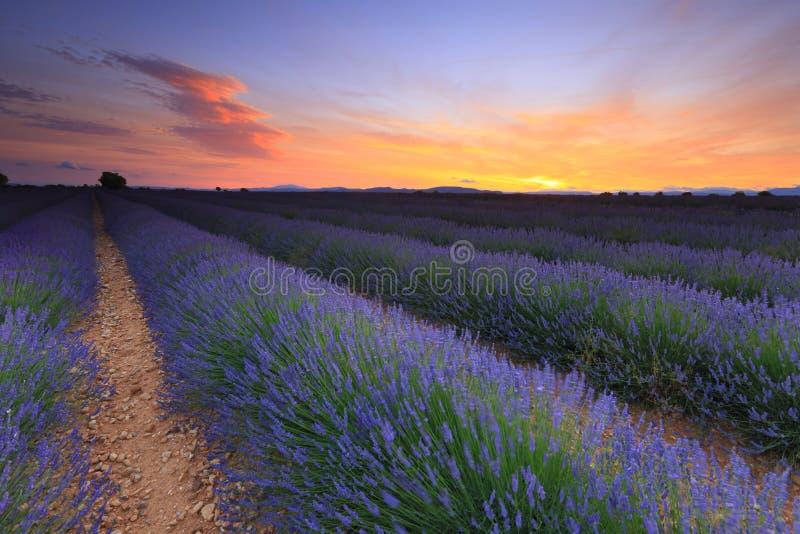 Lavendelfältsolnedgång arkivfoto