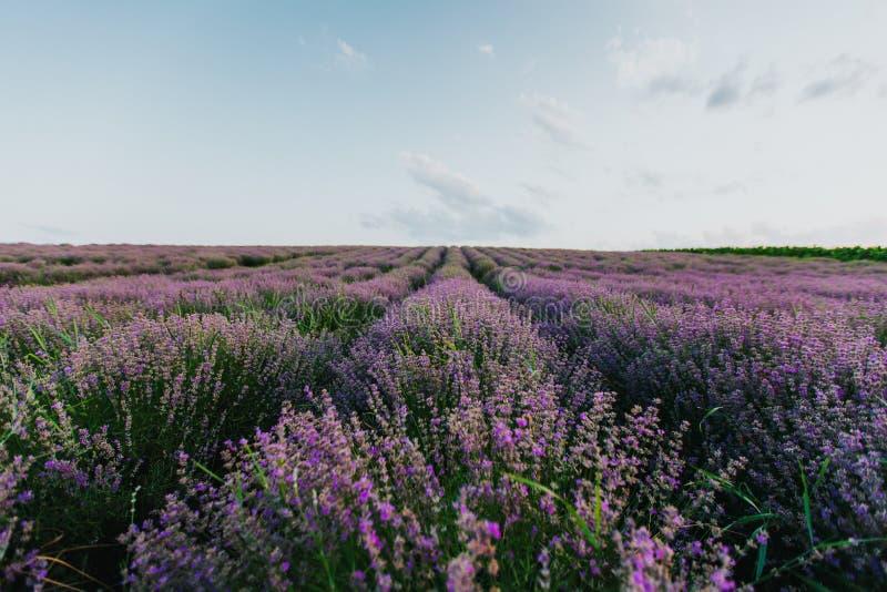 Lavendelf?lt p? solnedg?ngen fotografering för bildbyråer