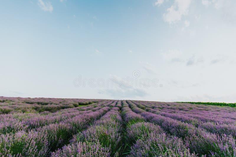 Lavendelf?lt p? solnedg?ngen royaltyfri foto