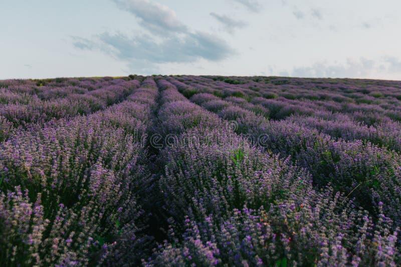 Lavendelf?lt p? solnedg?ngen arkivfoto
