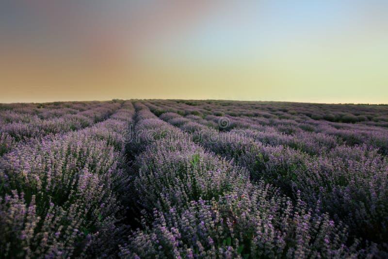 Lavendelf?lt p? solnedg?ngen arkivbilder