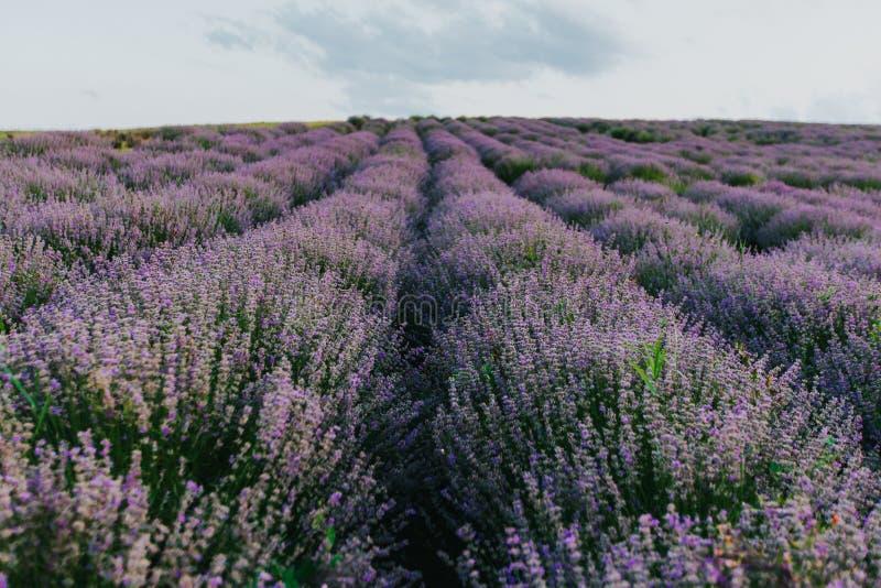 Lavendelf?lt p? solnedg?ngen arkivbild