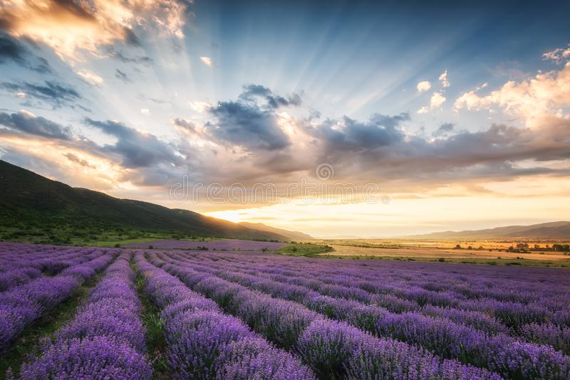 Lavendelf?lt p? soluppg?ng fotografering för bildbyråer