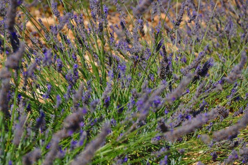 Lavendelfeld stockfotografie