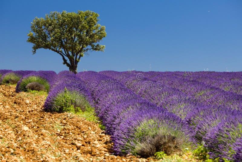 Lavendelfeld lizenzfreie stockfotografie