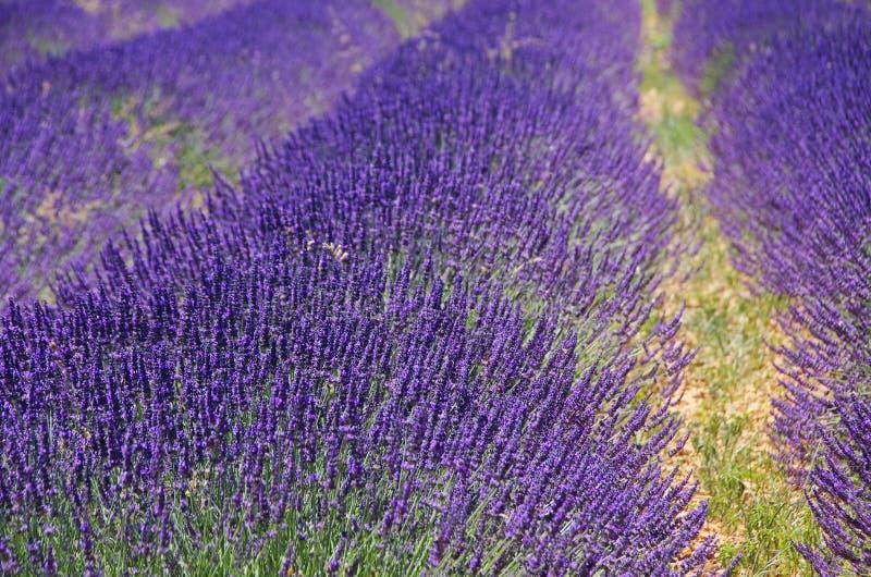 Lavendelfeld lizenzfreies stockbild