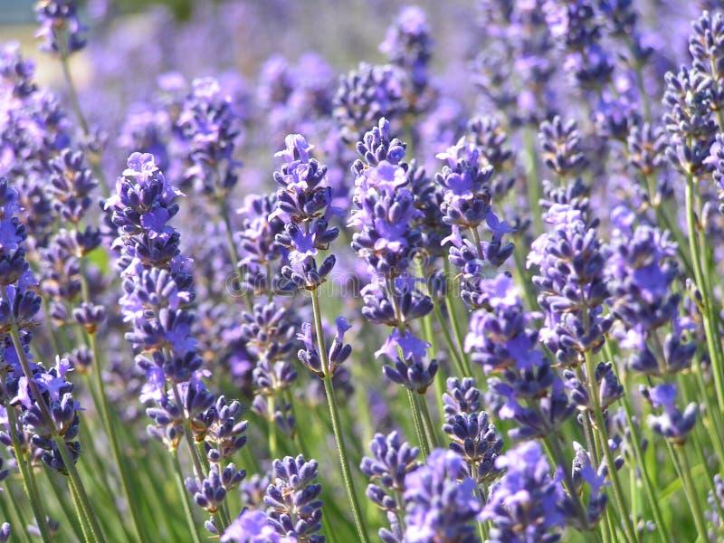 Lavendelfeld lizenzfreie stockbilder
