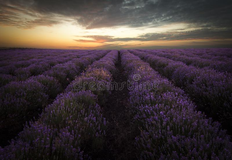 Lavendelfeld bei Sonnenaufgang lizenzfreie stockfotos
