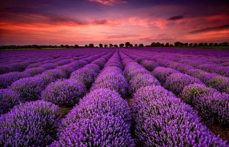 Lavendelfeld bei Sonnenuntergang lizenzfreie stockfotos
