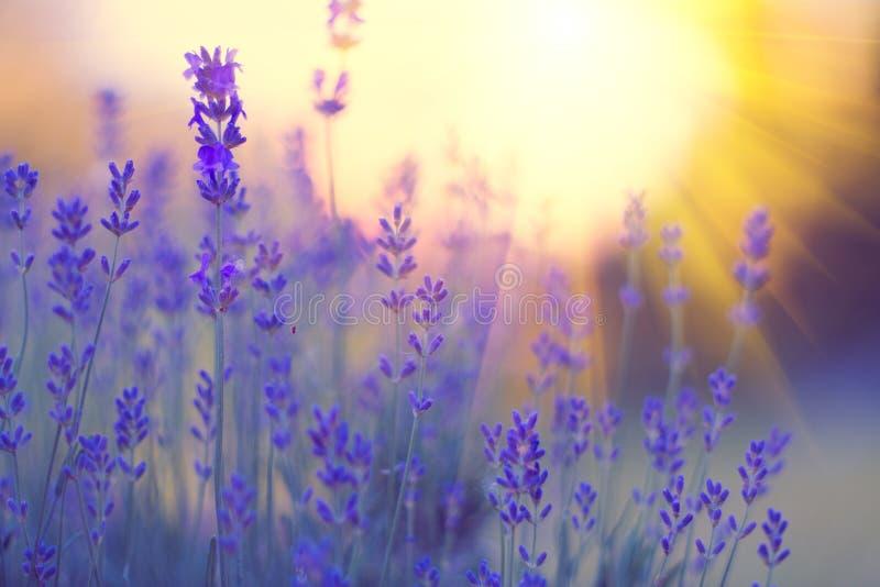 Lavendelfeld, blühender violetter wohlriechender Lavendel blüht Wachsender Lavendel, der auf Wind über Sonnenunterganghimmel beei stockbilder