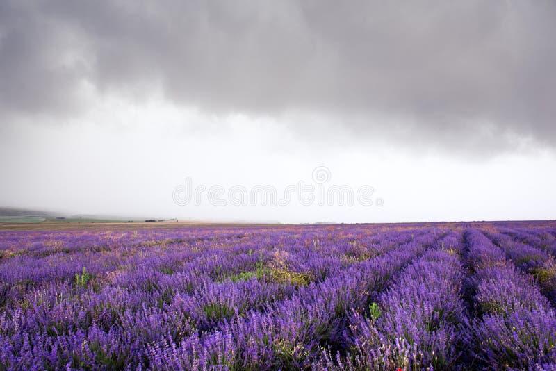 Lavendelfeld in Krim während eines stürmischen Tages stockbilder