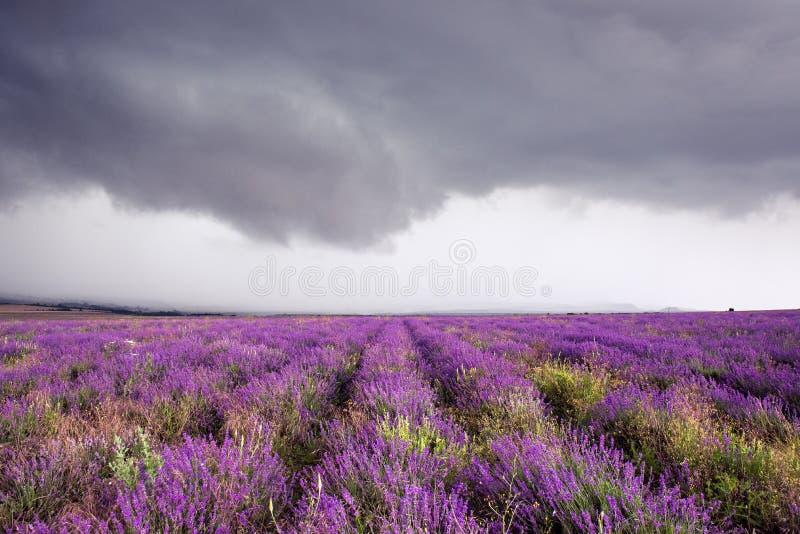Lavendelfeld in Krim während eines stürmischen Tages stockfotos