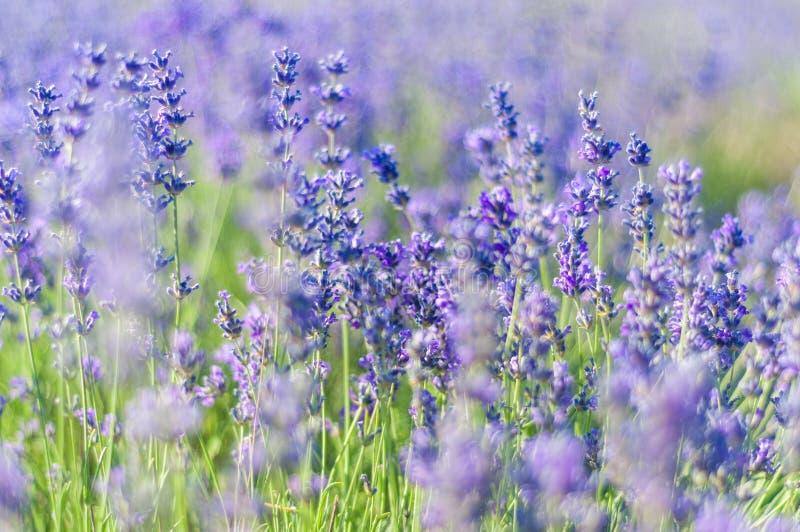Lavendelfeld am Sommer stockfotografie