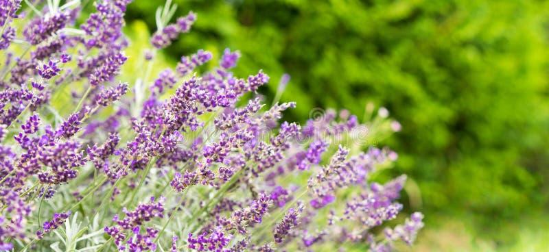 Lavendelfeld am Sommer stockbild