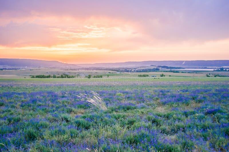 Lavendelfeld am Sommer stockfoto