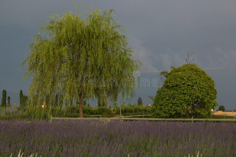 Lavendelfeld unter Sommersturm lizenzfreies stockbild
