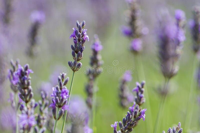 Lavendelfeldabschluß oben stockbilder